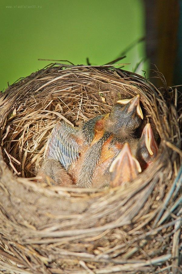 Наша фауна Дрозд рябинник кормит своих птенцов 01