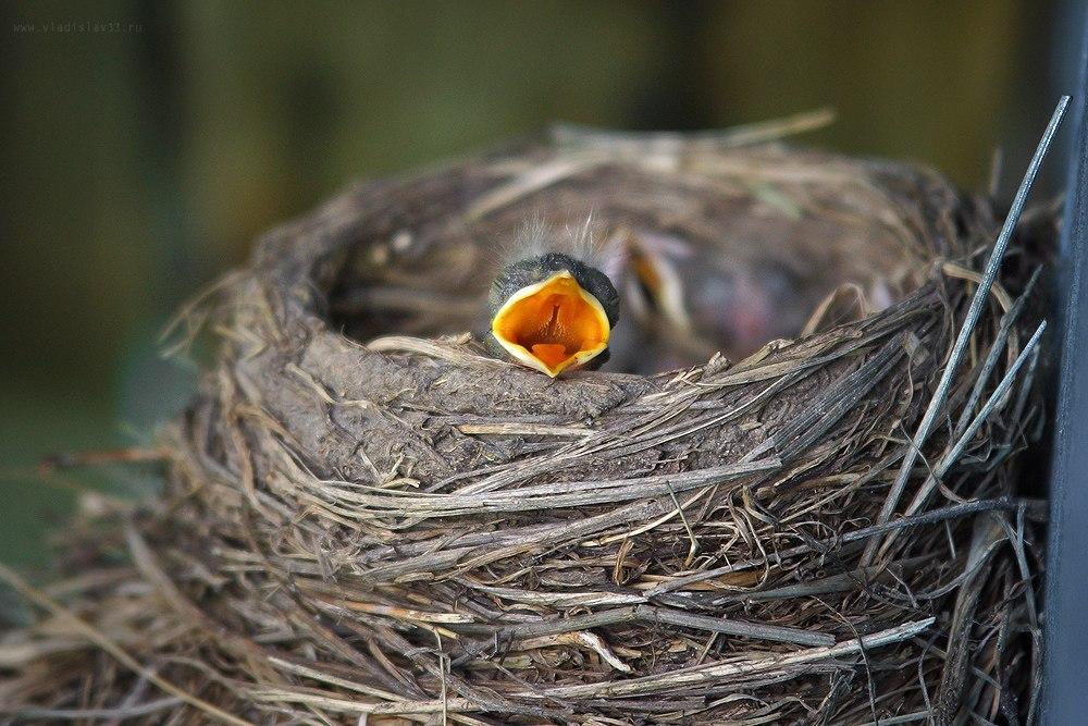 Наша фауна Дрозд рябинник кормит своих птенцов 02