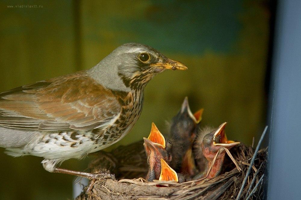 Наша фауна Дрозд рябинник кормит своих птенцов 03