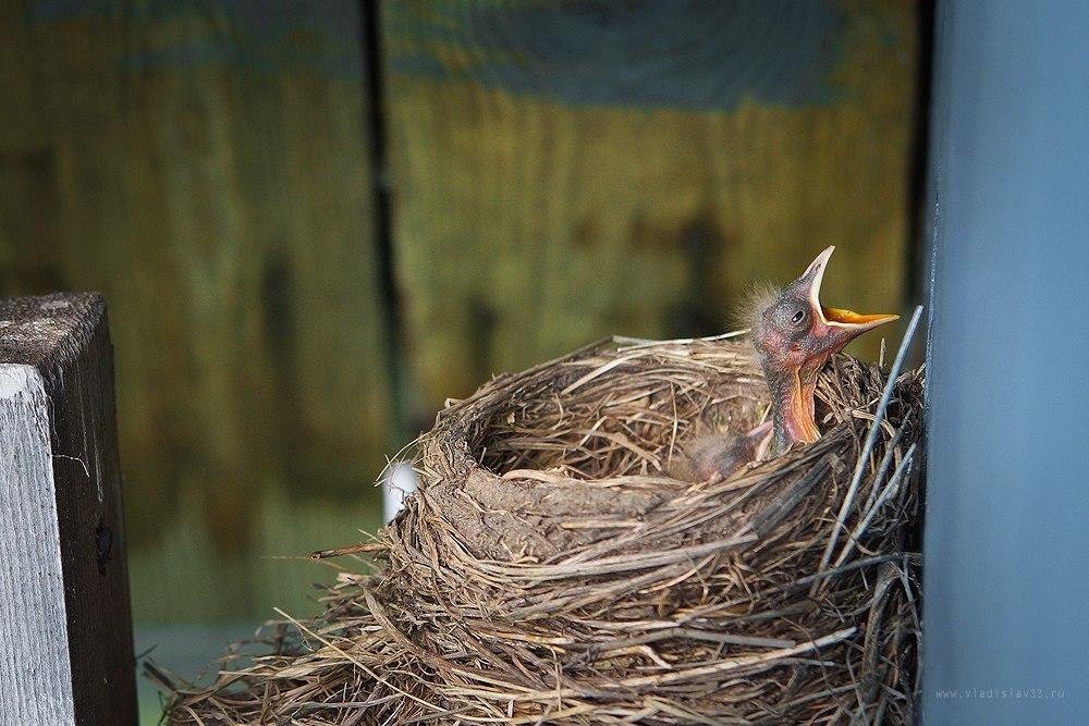 Наша фауна Дрозд рябинник кормит своих птенцов 04