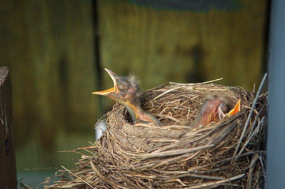 Наша фауна Дрозд рябинник кормит своих птенцов 06