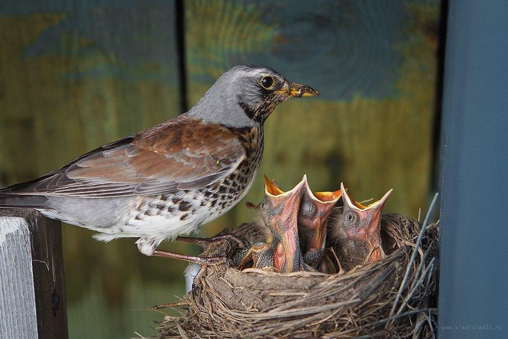 Наша фауна Дрозд рябинник кормит своих птенцов 07
