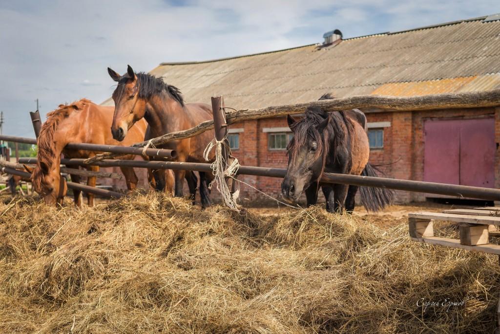 Красивые и грациозные кони, с. Раменье 01
