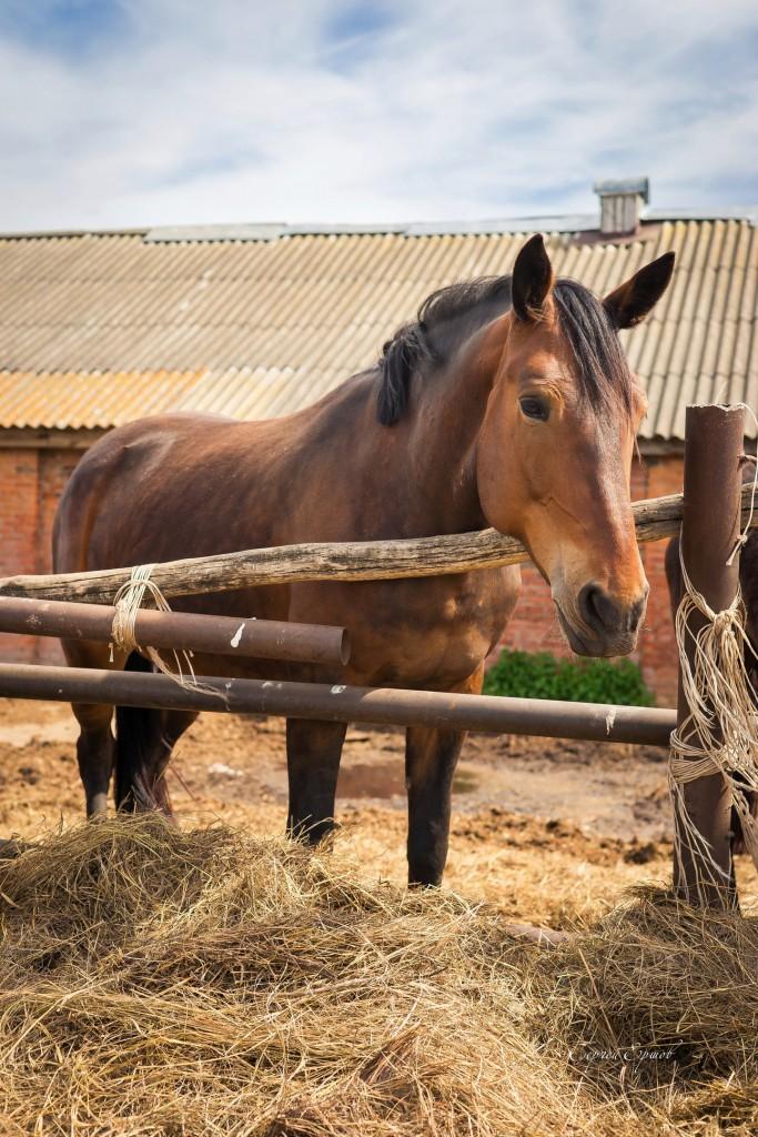 Красивые и грациозные кони, с. Раменье 02