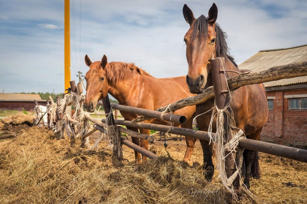 Красивые и грациозные кони, с. Раменье 03