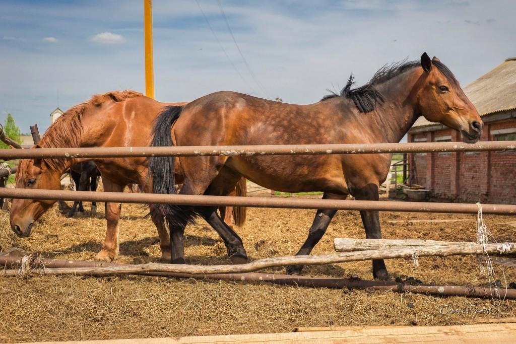 Красивые и грациозные кони, с. Раменье 04
