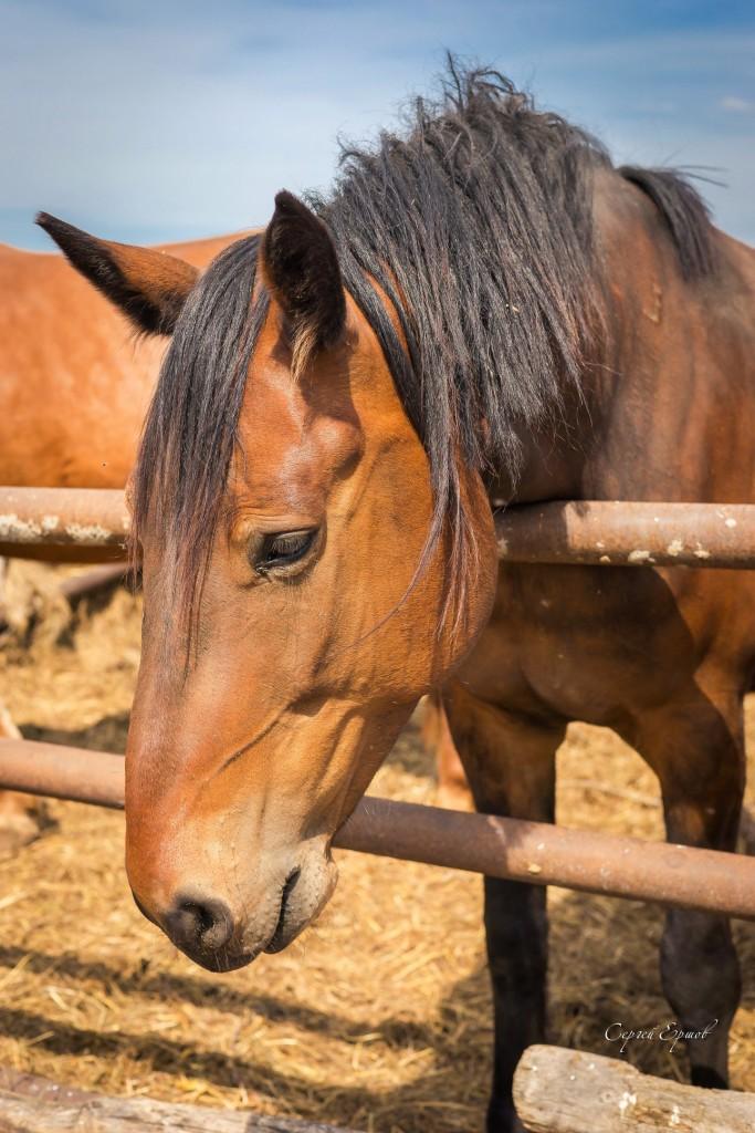 Красивые и грациозные кони, с. Раменье 05