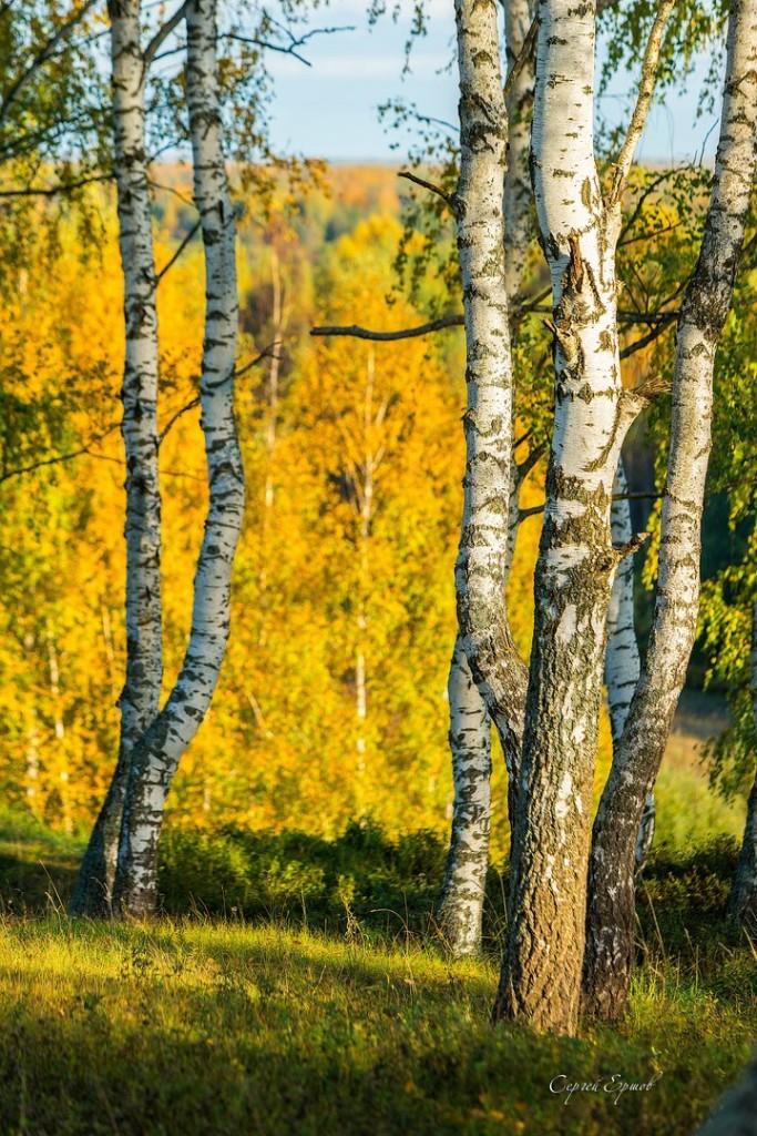 Владимирская область. Золотая осень и русская березка 02