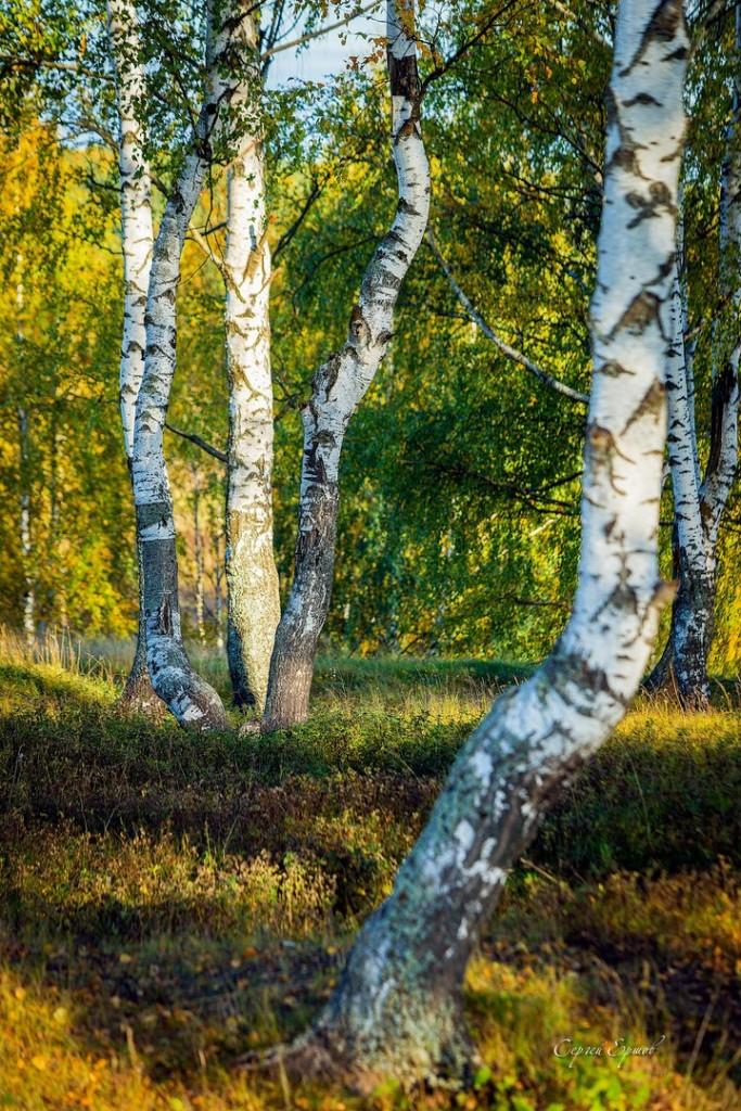 Владимирская область. Золотая осень и русская березка 04