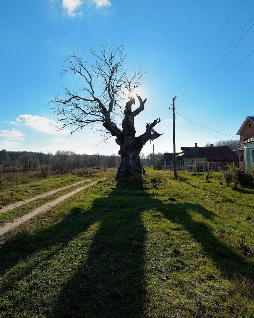 Толстенный Вяз в деревне Аннино Судогодского р-на.
