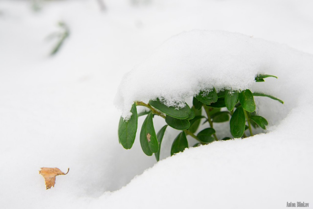 Брусничный куст под снежной шубкой