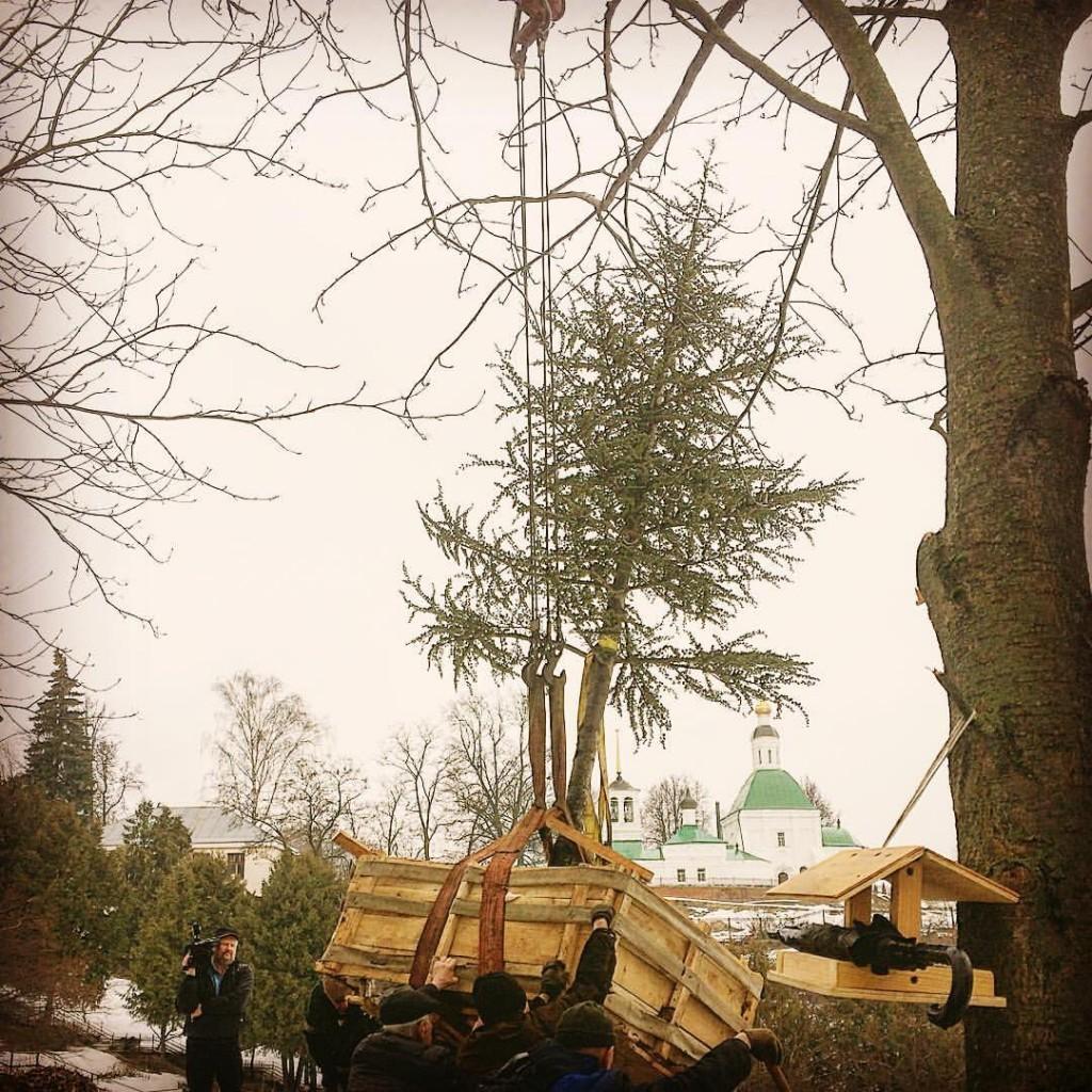 Атласский кедр в Патриаршем саду Владимира