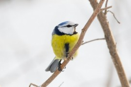 Обыкновенная лазоревка, обитающая круглый год во Владимирской области!