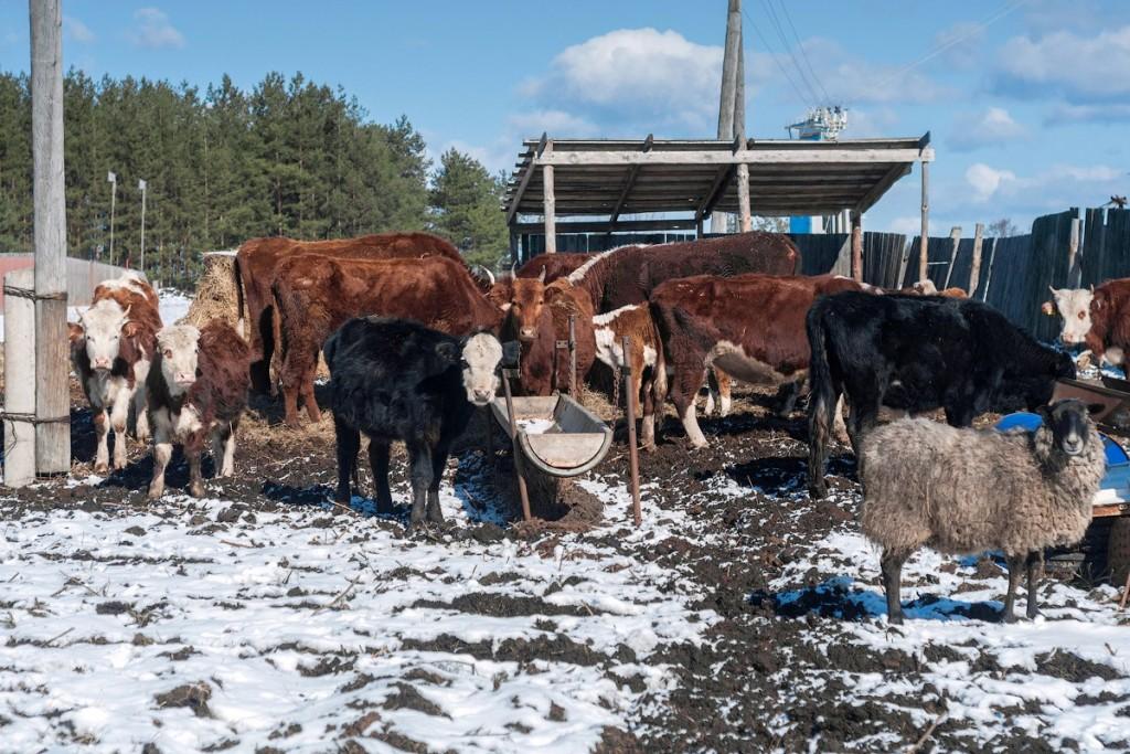 Коровы и овцы в деревне Домашнево, Петушинский район 01
