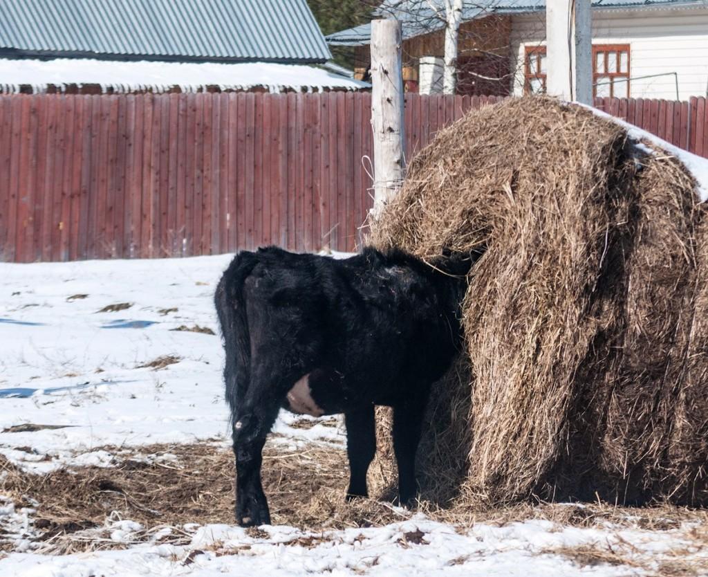 Коровы и овцы в деревне Домашнево, Петушинский район 03