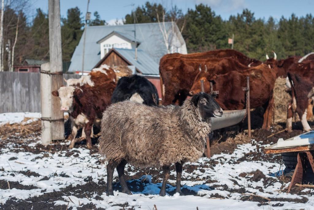 Коровы и овцы в деревне Домашнево, Петушинский район 04