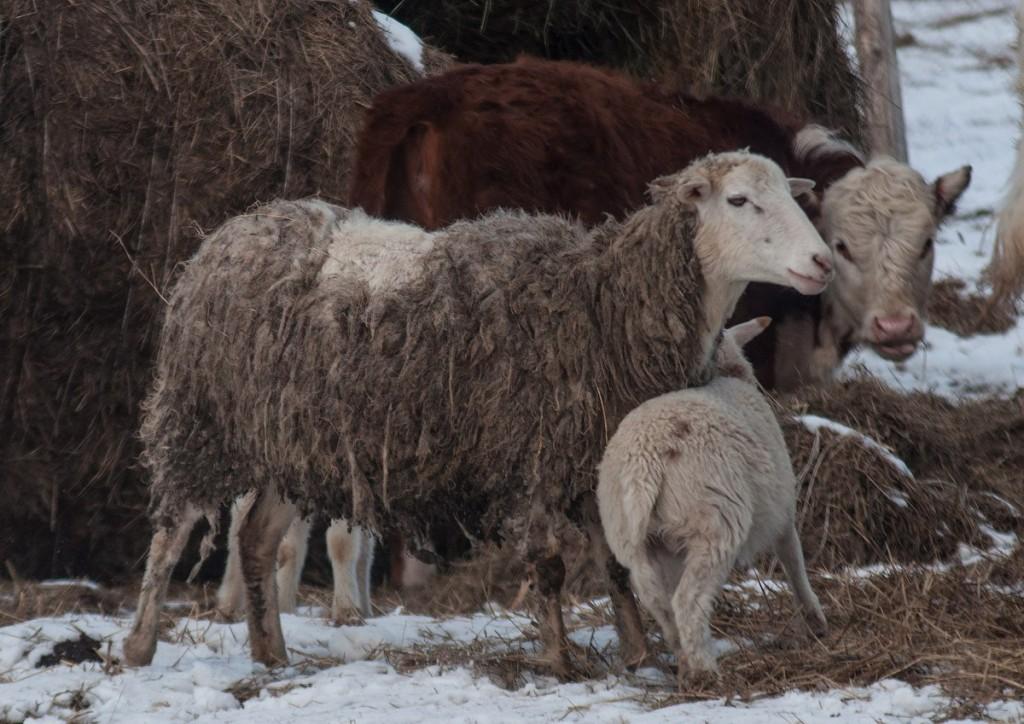 Коровы и овцы в деревне Домашнево, Петушинский район 05