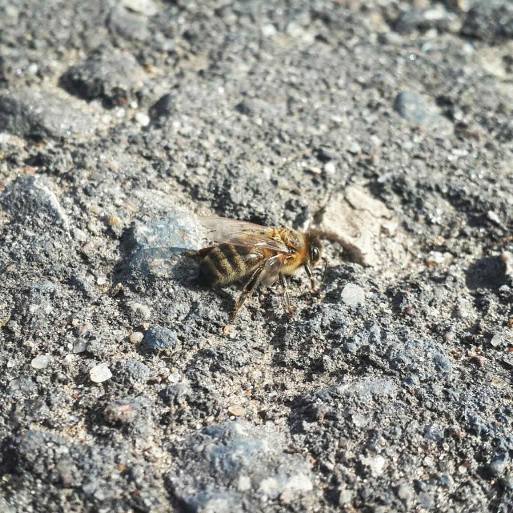 Ранняя пчёлка