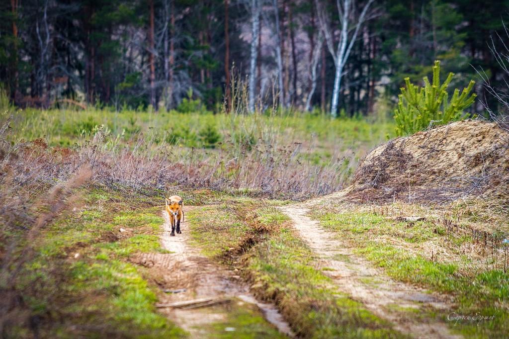 Уголок живой природы земли Владимирской. Лиса 01
