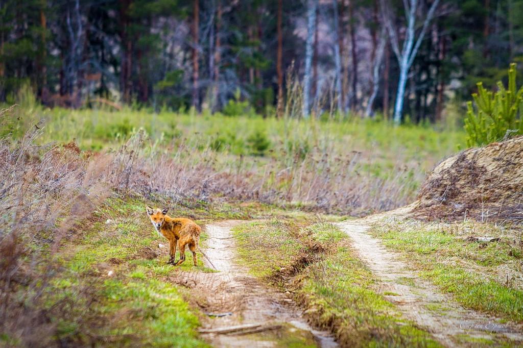 Уголок живой природы земли Владимирской. Лиса 02
