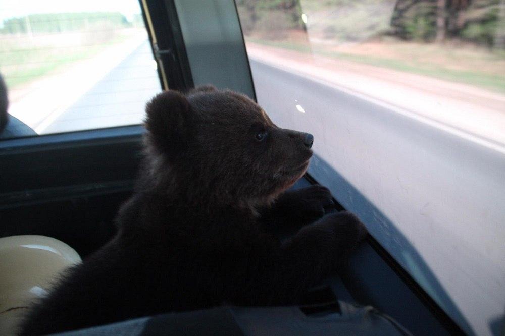 Бурый медвежонок из Нижегородской области обрёл новый дом в национальном парке «Мещёра» 01