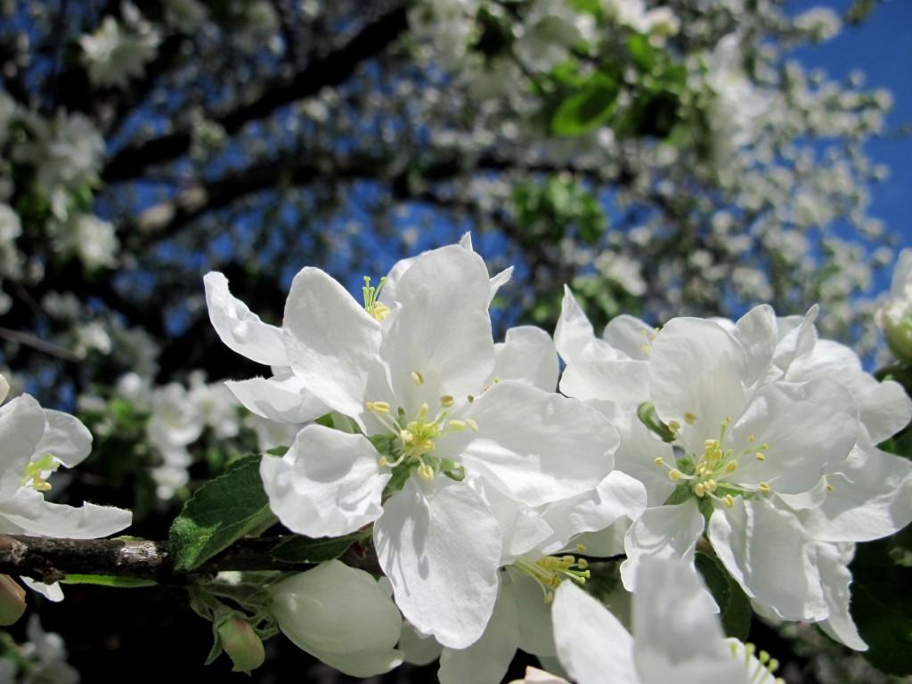 Запоздалое цветение в Вязниках 02