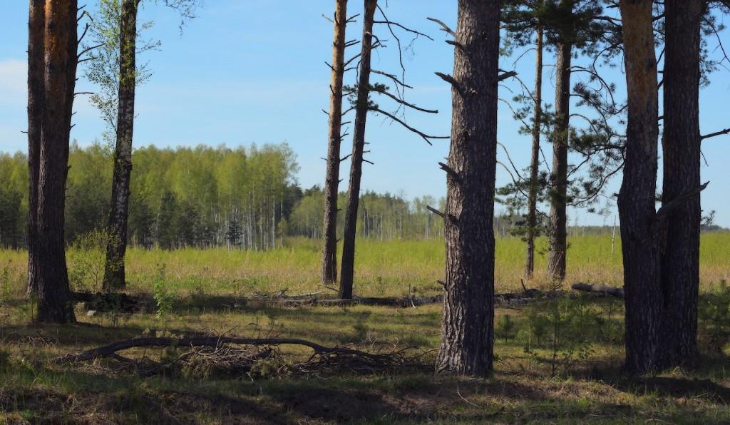 Изящный длиннокрылый сокол на окраинах Урсова болота 02