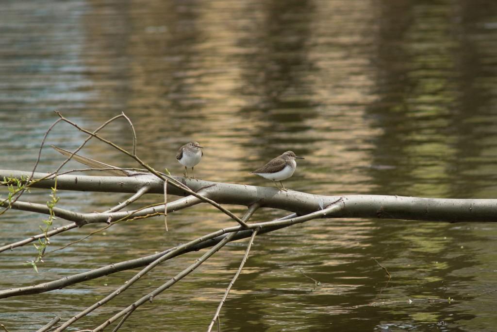 Небольшие кулики, предпочитающие обычно реки и речки, прилетели на Соловьиный пруд 01