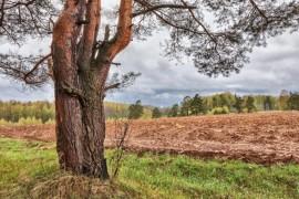 Старая сосна на краю поля, г. Александров