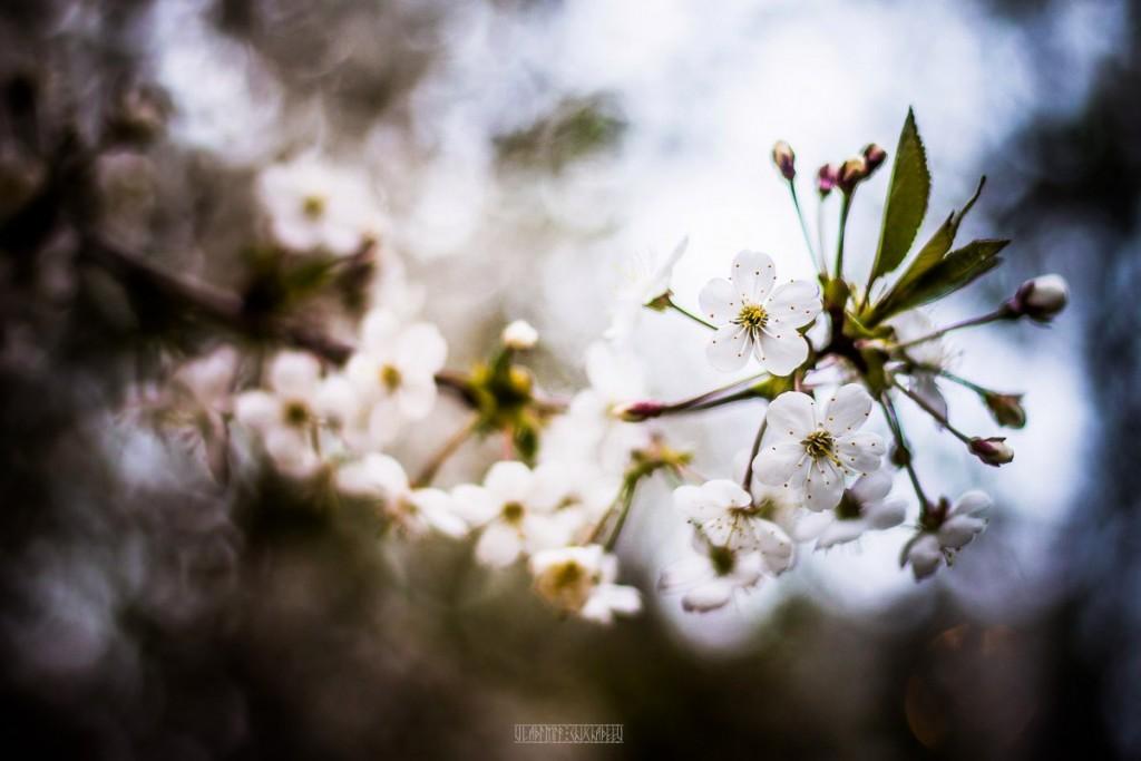 2017_05_15 Весенние владимирские цветы 01