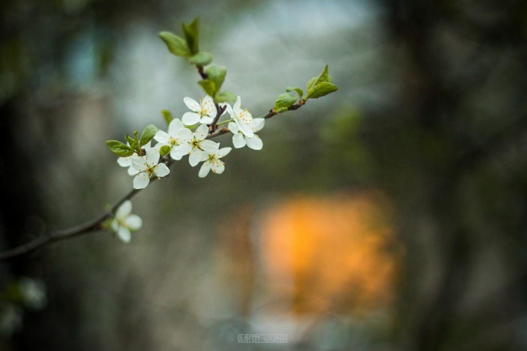 2017_05_15 Весенние владимирские цветы 02