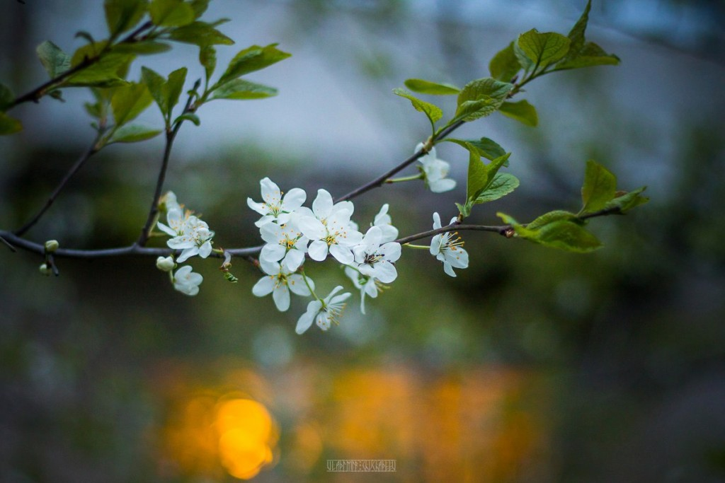 2017_05_15 Весенние владимирские цветы 03