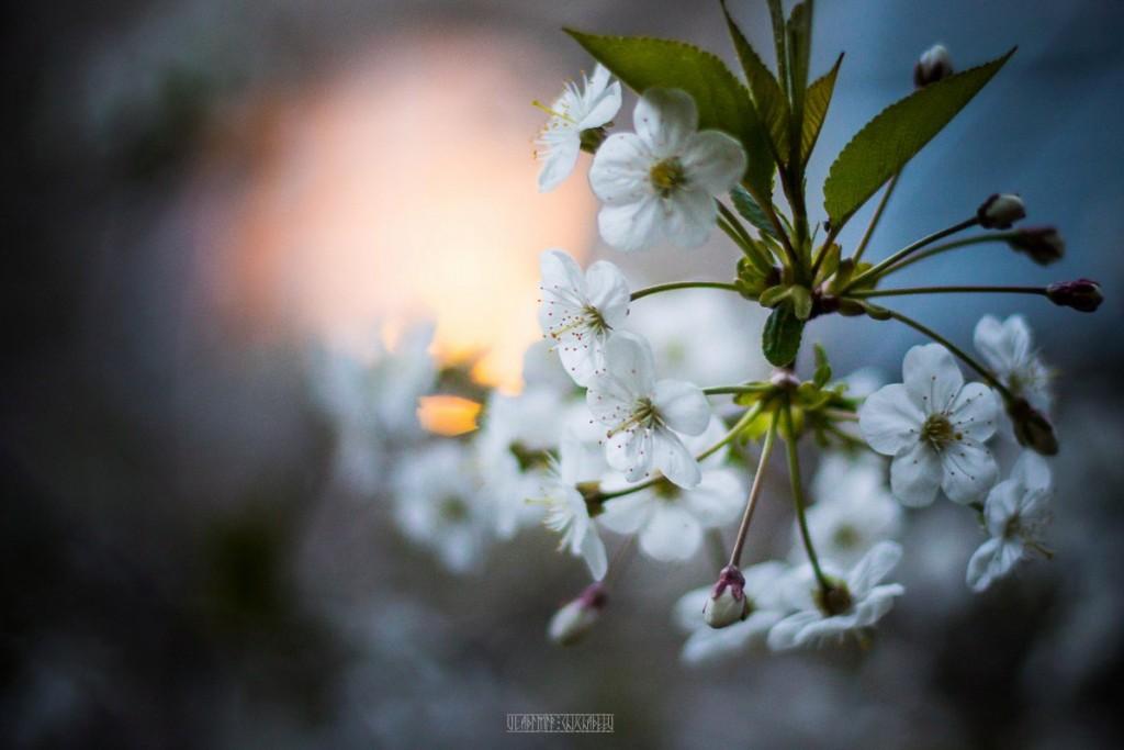 2017_05_15 Весенние владимирские цветы 04
