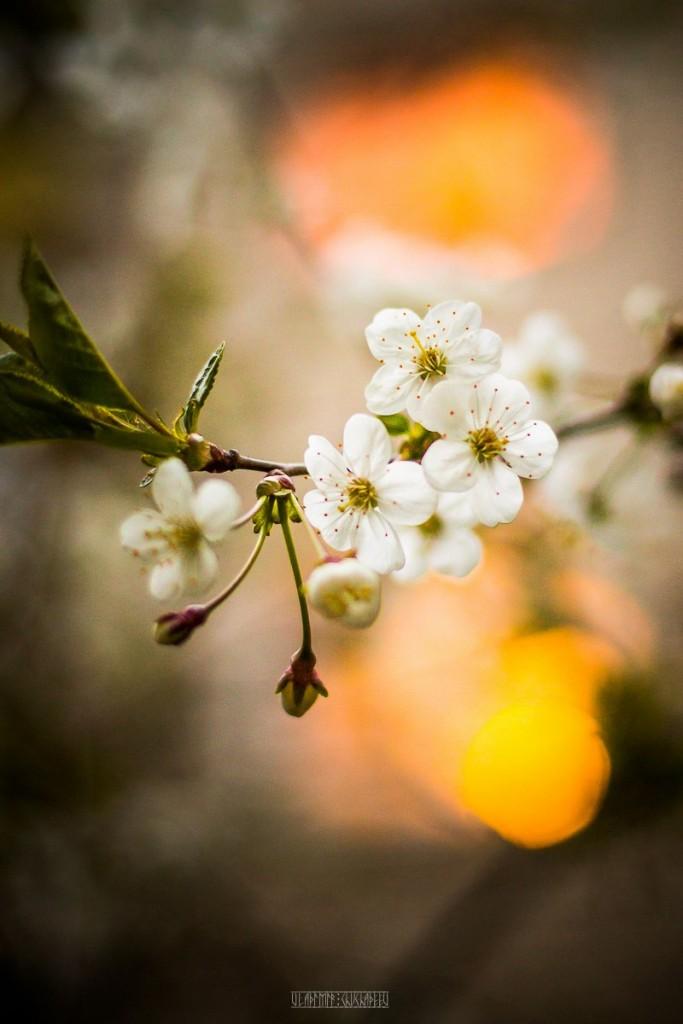 2017_05_15 Весенние владимирские цветы 05
