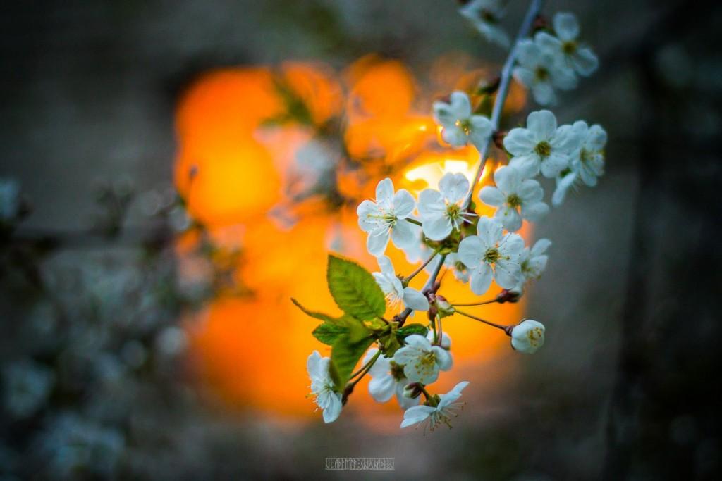 2017_05_15 Весенние владимирские цветы 06