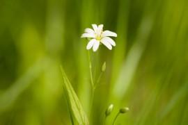 Июнь на Владимирщине. Лесной цветок
