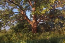 Вязниковский дуб