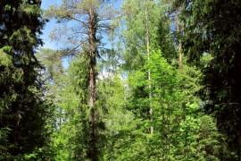 В июньском Владимирском лесу