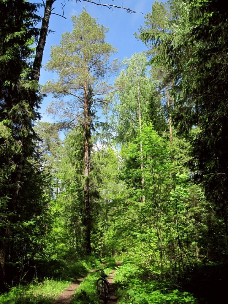 В июньском Владимирском лесу 01