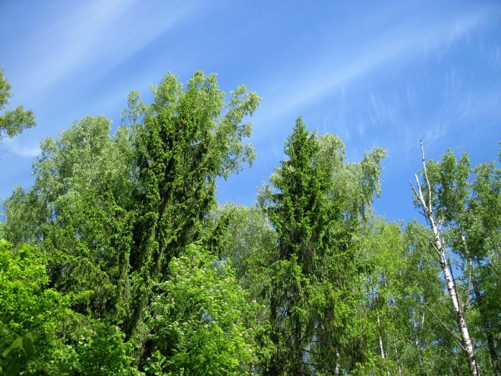 В июньском Владимирском лесу 02