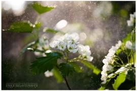 Как он цветёт… Как он цветёт! Боярышник из Киржачского района