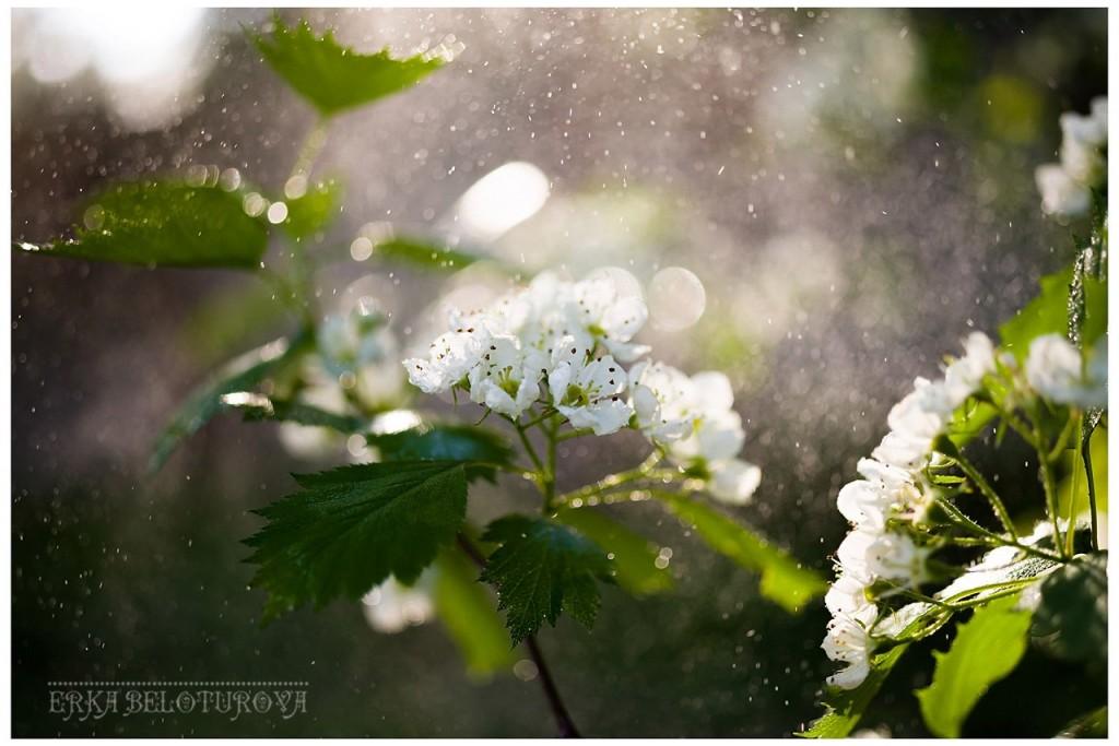 Как он цветёт... Как он цветёт! Боярышник из Киржачского района 01