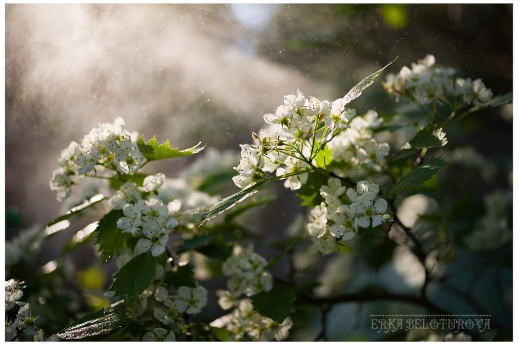 Как он цветёт... Как он цветёт! Боярышник из Киржачского района 03