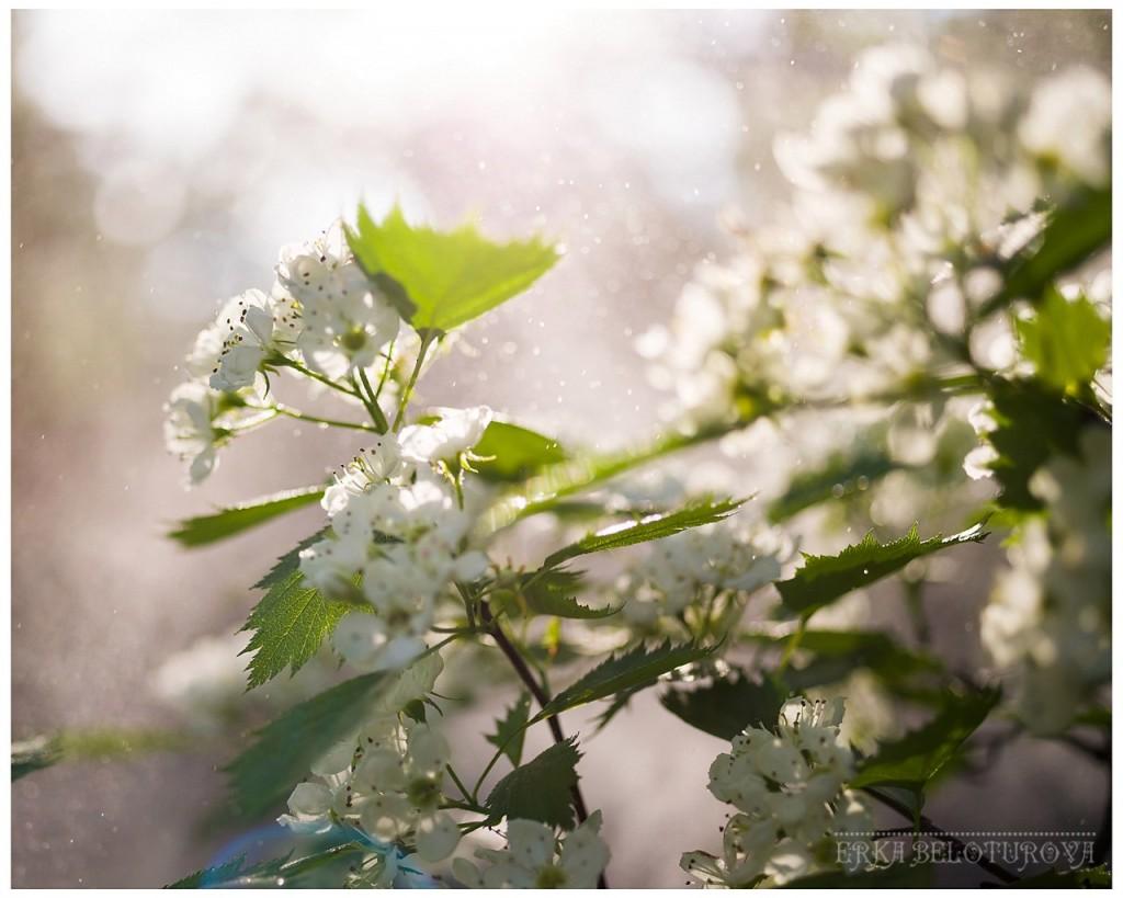 Как он цветёт... Как он цветёт! Боярышник из Киржачского района 04