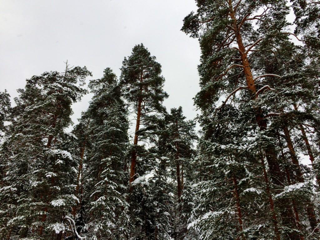 Красивый зимний лес в Гусь-Хрустальном 01