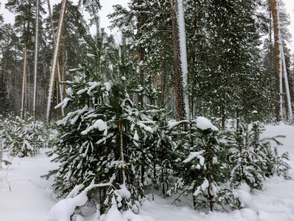 Красивый зимний лес в Гусь-Хрустальном 05