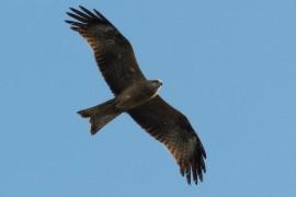 Птицы Владимирской области, часть 2: птицы в полете