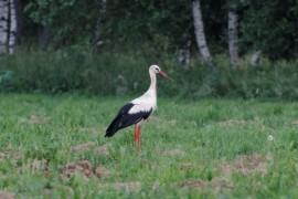 Некоторые виды птиц, занесенные в Красную книгу Владимирской области