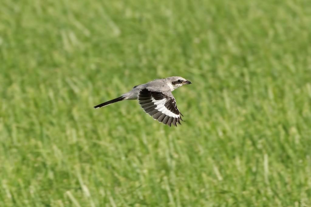 Серый сорокопут