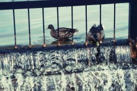 Утки на озере в Гусь-Хрустальном